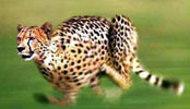 cheetah runs at over 100 km/h